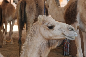 a young camel with nice eyelashes
