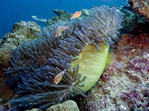 Sea-anemone with clown fish