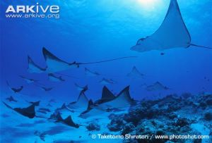 Spotted-eagle-ray-group
