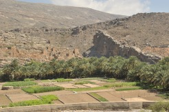 palm oasis in Oman with the falaj trenches visible